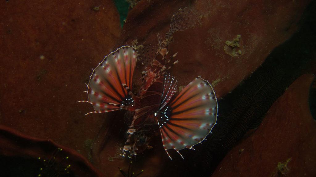 dragon-fish